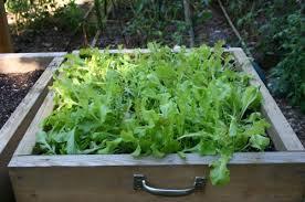 container garden vegetables. Container Gardening For Edibles. Lettuce Box Garden Vegetables M