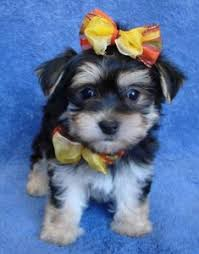 waterloo ia mini yorkie puppy for adoption