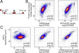 Protein synthesis rates and ribosome occupancies reveal determinants of  translation elongation rates