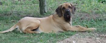 O σκύλος Fila de Brasileiro...