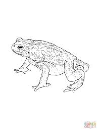 Colorado River Or Sonoran Desert Toad Coloring Page Free Sonoran