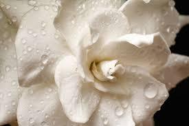 hardy gardenias hardy gardenia cold hardy gardenias cold hardy gardenia winter hardy