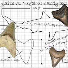 Shark Tooth Size Chart Fossilguy Com The Size Of The Megalodon Shark Megalodon