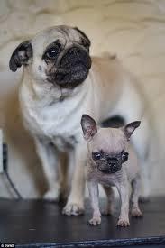 teacup pug full grown. Modren Pug Owner Joanne Was Delighted When Twoyearold Ruby Left Gave Birth Intended Teacup Pug Full Grown