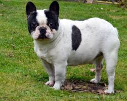 Black And White Brindle French Bulldog