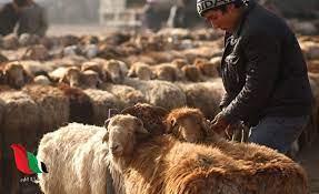 حكم الاضحية في عيد الاضحى عند الشيعة - غزة تايم - Gaza Time