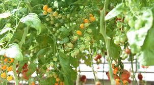 Как выращивать <b>томаты</b>: подробная инструкция на ...