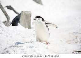 baby penguins. Perfect Penguins Some Penguins In The Arctic Walking Around On North Pole And Looking  For Young Inside Baby Penguins O