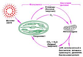 Ответы mail ru Организация потока Вещества и энергии клетки Реферат Клетка как открытая система Организация потоков веществ и энергии Биологическое окисление дыхание брожение Фото и хемосинтез