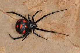 What Are Most Common Types Of Spiders In Washington State