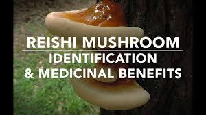 Reishi Mushroom Ganoderma Tsugae Identification And Medicinal Benefits With Adam Haritan