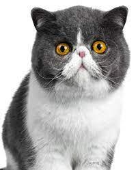 Journal: Exotic Shorthair Cat Notebook: Publications, Dreamflight:  9781098953416: Amazon.com: Books