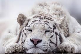 white tiger. Plain Tiger And White Tiger
