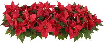 10 Fun Flower Facts for National Poinsettia Day - Random Acts of ...