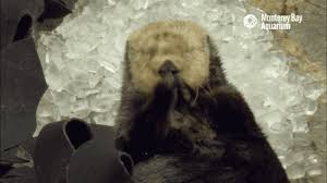 Otter Vending Machine Extraordinary Animals Ice Otter GIF On GIFER By Mari