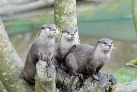 Image result for otter
