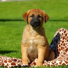 anatolian shepherd mix puppies for