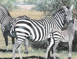 Gilbert's Bar G Ranch - Watusi and Zebras for Sale