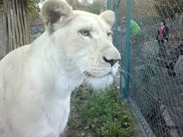 white lioness. Exellent White FileWhite Lioness  Inside The Cage Viewjpg With White Lioness E
