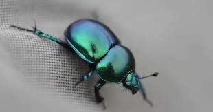תוצאת תמונה עבור חיפושית זבל