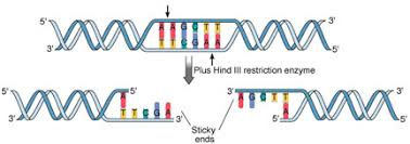 Restriction Enzyme Recombinant Dna Technology Restriction Enzymes