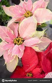 Closeup Auf Schöne Rosa Weihnachtsstern Weihnachts Blume