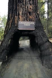 chandelier drive through tree chandelier drive thru tree park chandelier drive thru tree cost