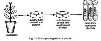essay on plant tissue culture history methods and application micropropagation of plant