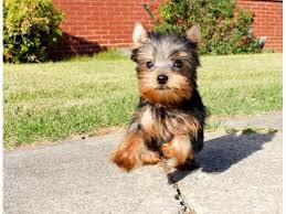 very tiny teacup yorkie puppies for
