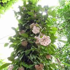 Also called porcelain flower or wax flower. Muda De Flor De Cera Safari Garden