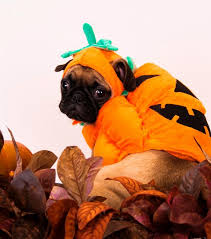 pug in pumpkin costume. Beautiful Costume Titan Intended Pug In Pumpkin Costume