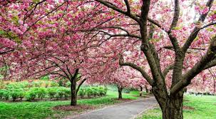 cherry blossoms have started to bloom at brooklyn botanic garden