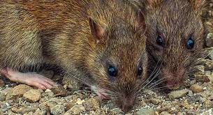 rats in the garden pest control