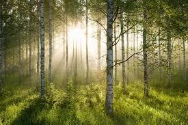 birch forest sunlight