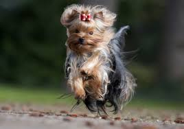 The hallmark of the dog is its coat. Yorkshire Terriers What S Good About Em What S Bad About Em