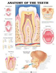 Anatomical Chart Posters Anatomy Of The Teeth Anatomical Chart Poster