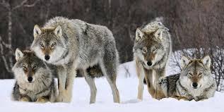 gray wolf pack playing. Beautiful Playing WolfPack To Gray Wolf Pack Playing FootballScoop