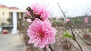 Image result for hoa xuân tươi