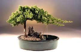 office bonsai tree. Unique Bonsai Juniper Bonsai Tree Fisherman LIVE Plant Procumbens Garden Office House  Decor Inside
