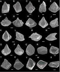 SEM photos of Nostolepis striata, Nostolepis amplifica and Nostolepis...