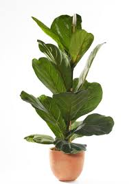 ajk5mw fiddleleaf fig ficus lyrata