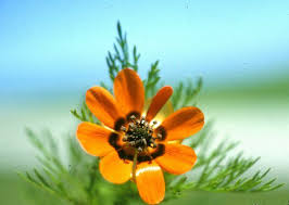 flower names that start with the letter p summer pheasant s eye is poisonous
