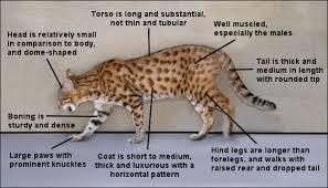 Bengal Cat Type
