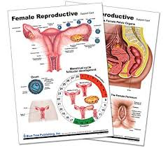 Amazon Com Woman S Health Reproductive Chart Office Products