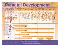 Prenatal Development Chart Laminated Prenatal