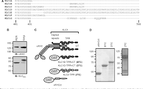Kinesin Light Chain Antibody Figure 4 From Cargo Selection By Specific Kinesin Light