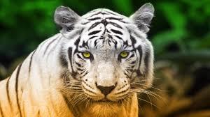 Download Hd White Tiger Desktop ...