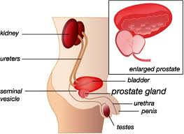 Bladder Chart Nhs Lower Urinary Tract Luts And The Prostate Salisbury