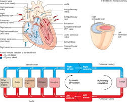 Human Blood Flow Chart Blood Throught The Heart
