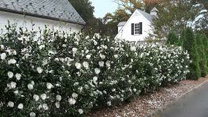 Stories. NEW. 10 Evergreen Shrubs for Privacy ...